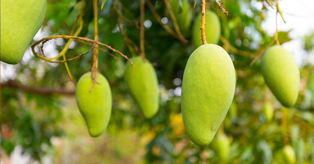 Xoài loại cây ăn trái rất dễ trồng